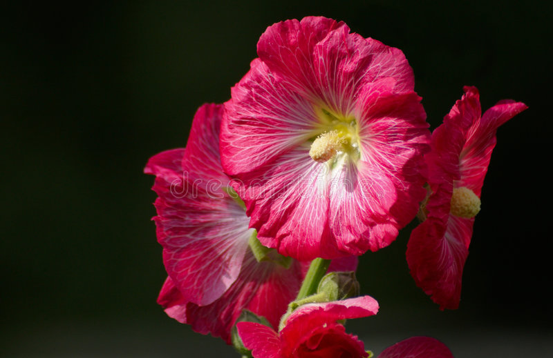Red mallow. On black background royalty free stock photos
