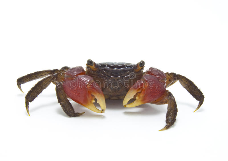 Red Mangrove Crab ISOLATED royalty free stock photography