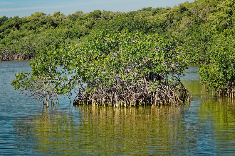 Red mangrove in the Everglades royalty free stock images