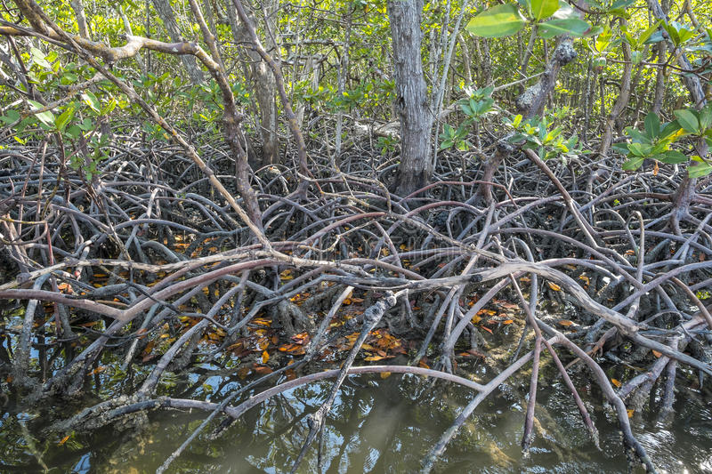 Red Mangrove Forest of Florida #1 stock photos