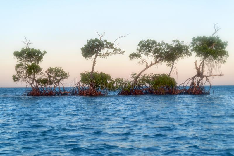 Cuba: beauty of the Caribbean sea surrounding the island. Red mangrove in the middle of the Caribbean sea at the height of Tunas de Zaza in Sancti Spiritus, Cuba royalty free stock photography