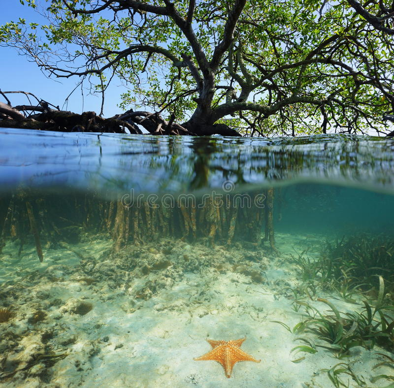 Free Red Mangrove Tree Split Over And Under Sea Surface Stock Photos - 52629413