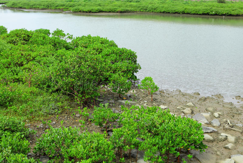 Red Mangroves royalty free stock photo