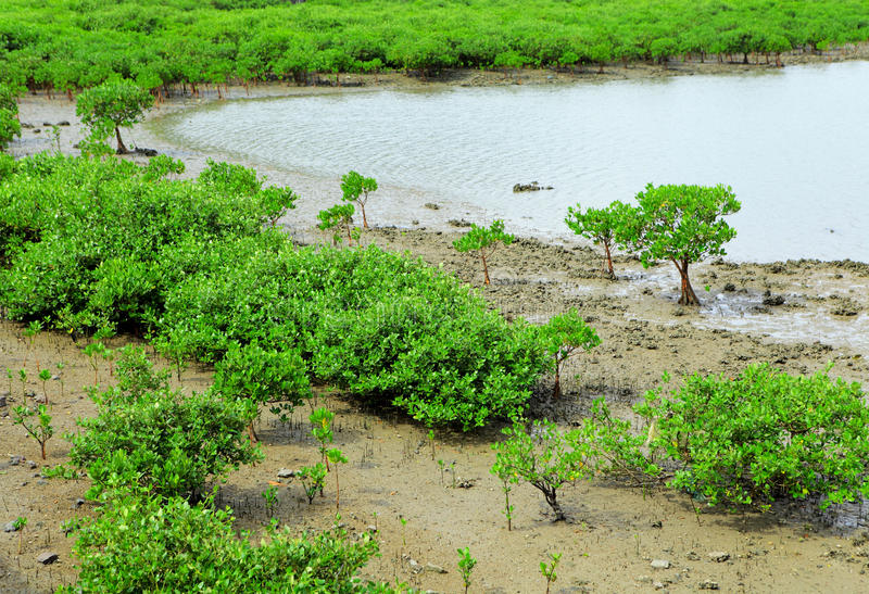Red Mangroves stock photography