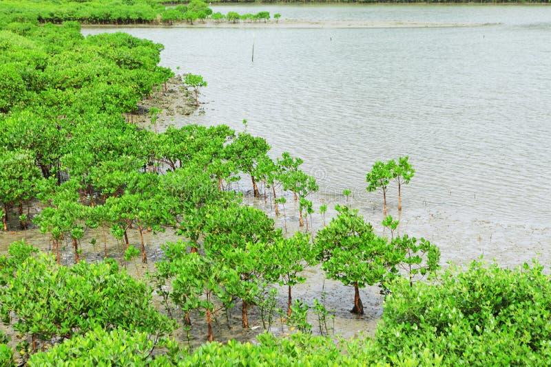 Red Mangroves stock image