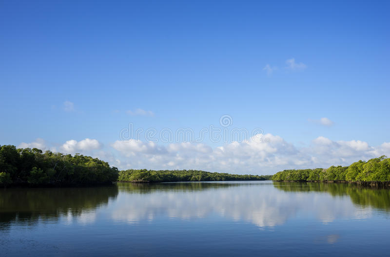 Red Mangroves of Florida Everglades stock image