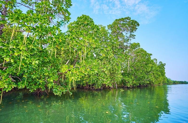 The red mangroves, Kangy river, Chaung Tha, Myanmar stock photography
