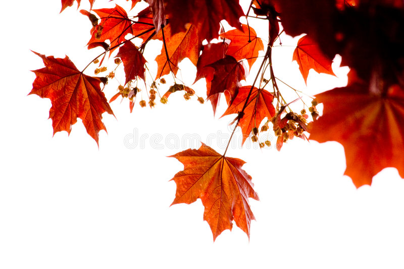 Red maple. Leafs with white background stock photo