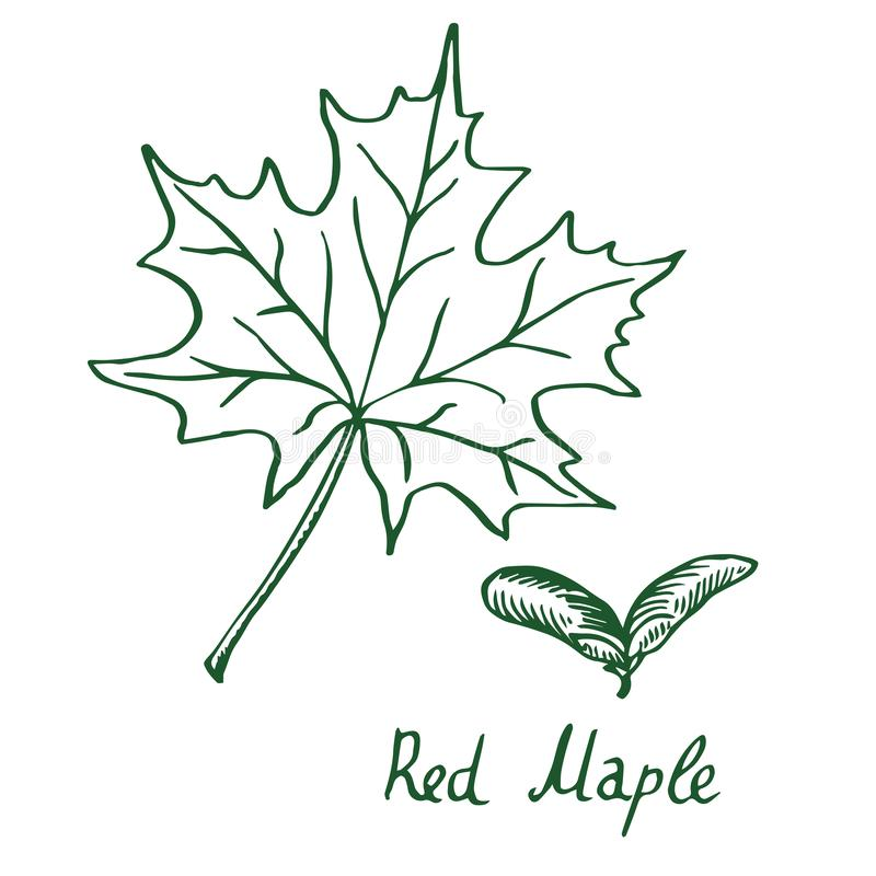 Free Red Maple Acer Rubrum Leaf And Samaras, Hand Drawn Doodle, Sketch Stock Images - 133484874