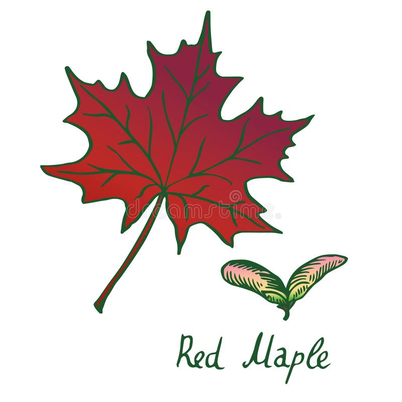 Free Red Maple Acer Rubrum Leaf And Samaras, Hand Drawn Doodle, Sketch Stock Photography - 133485062