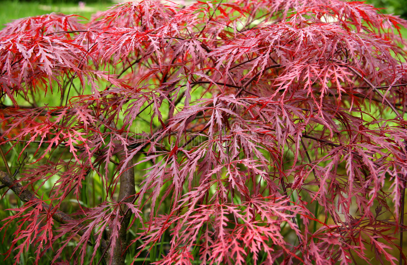Download Red Maple in Autumn stock photo. Image of colored, leaves - 277132