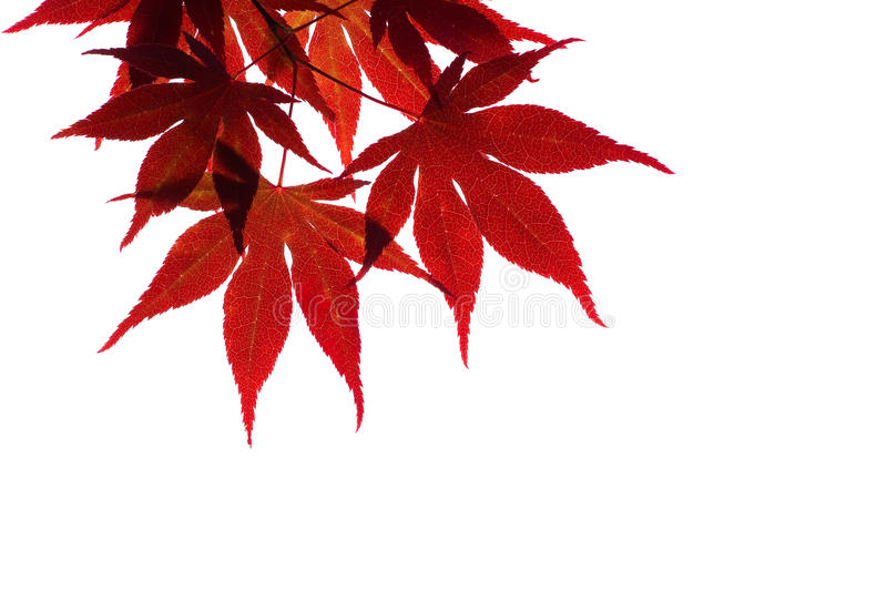 Red maple branch isolated on white royalty free stock image