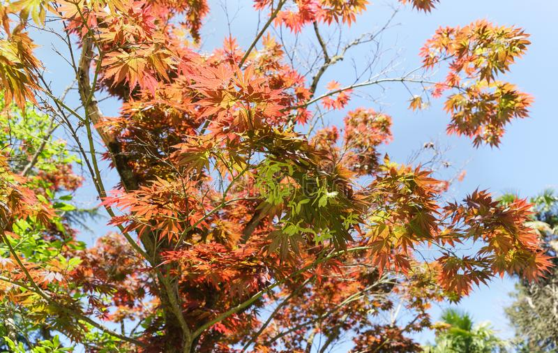 Red maple hand-shaped lat. Acer palmatum decorative during the whole period of vegetation crown shape and delicate pattern of royalty free stock images
