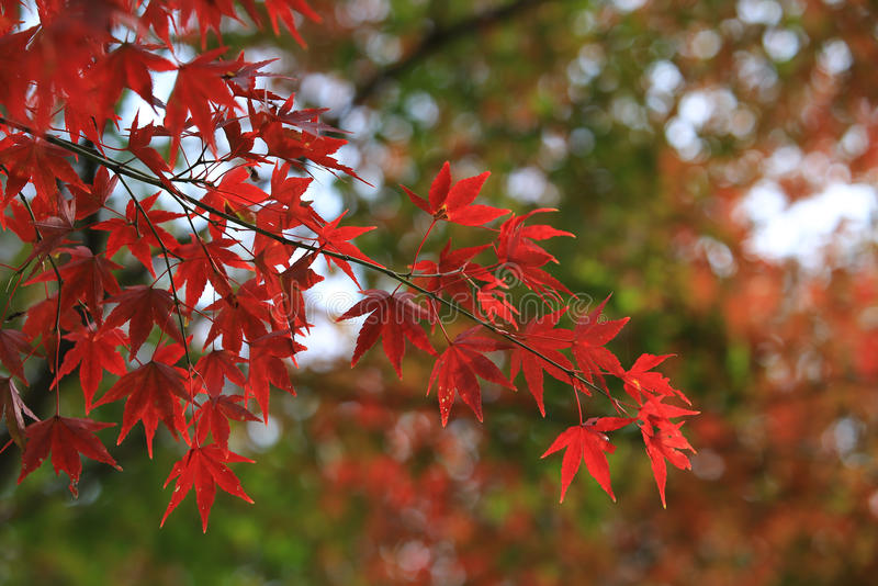 Red maple with the Japan background stock images