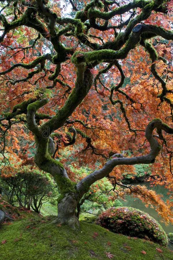 Red maple, Japanese garden. Autumn royalty free stock image