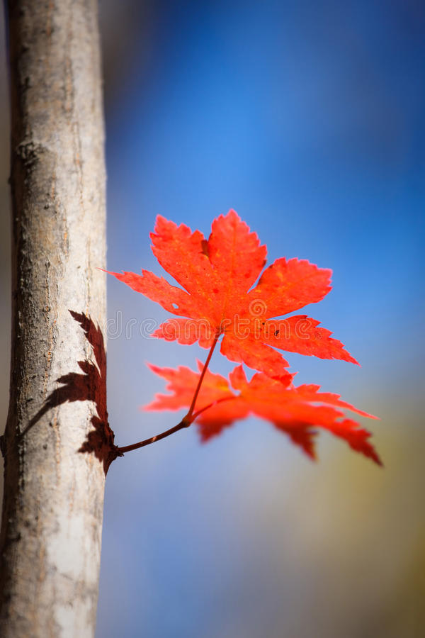 Free Red Maple Leaf Royalty Free Stock Images - 15138839