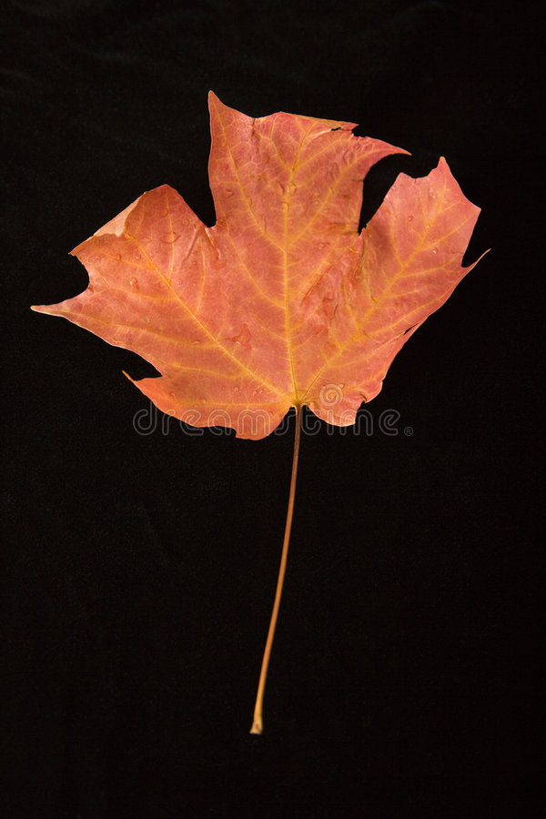 Red maple leaf. stock images
