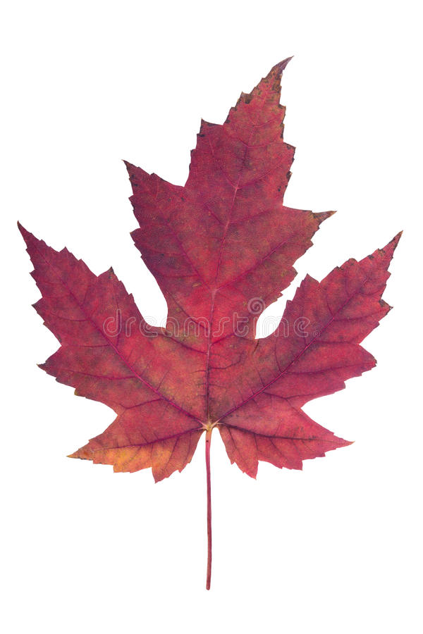 Free Red Maple Leaf Stock Photos - 46358513