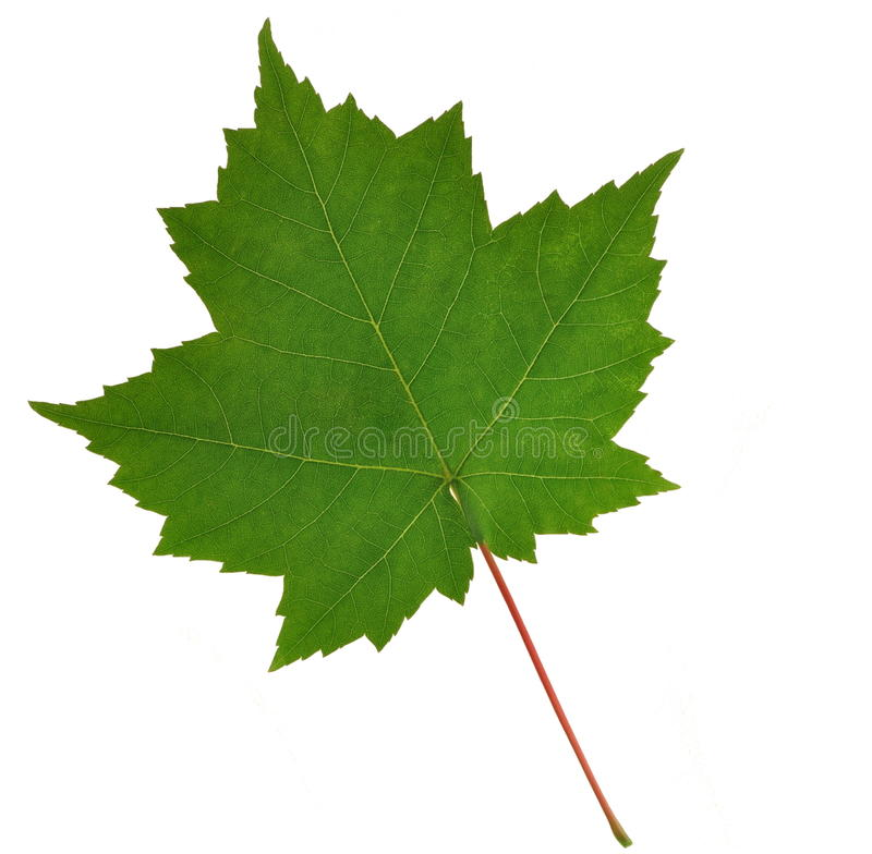 Red Maple Leaf (Acer rubrum) stock images