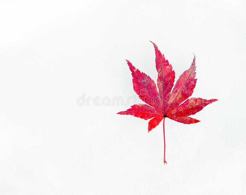 Red maple leaf on first winter snow stock images