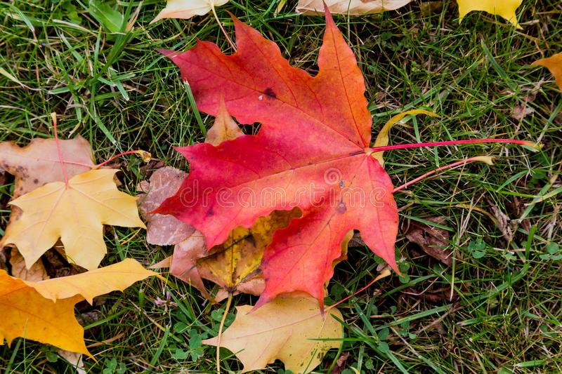 Red maple leaf on the grass royalty free stock photography