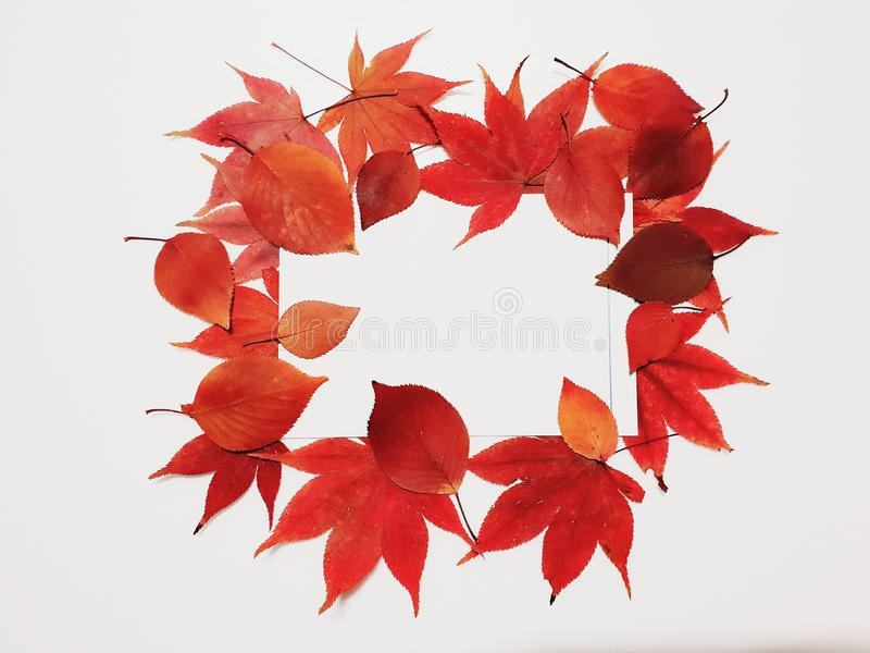 Maple leaf. Red maple leaf image on white background stock photography