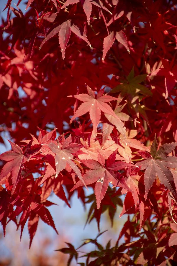 Red maple Leaf in Japan is always good royalty free stock photos