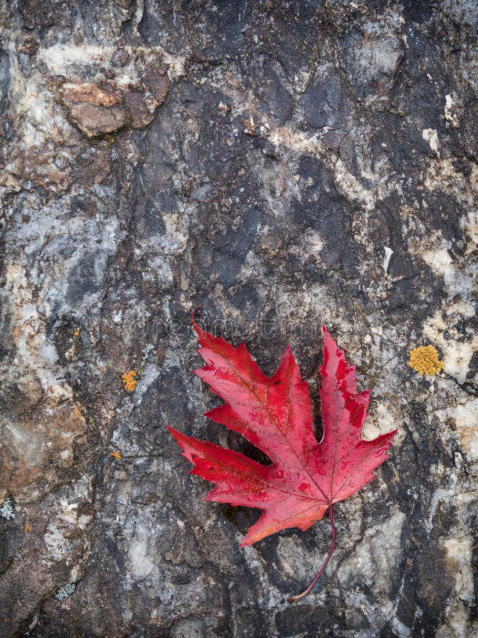 Download Red maple leaf on rock stock image. Image of stone, maple - 27034973