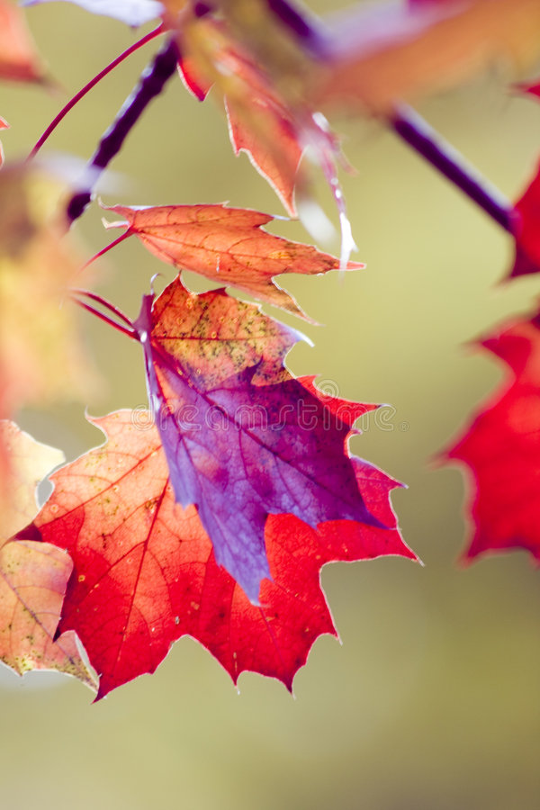 Download Red maple leafs stock photo. Image of light, leafs, fragmented - 3589940