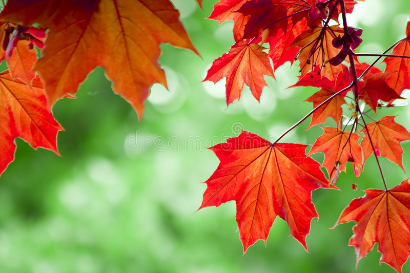 Red maple leafs. With green background royalty free stock image