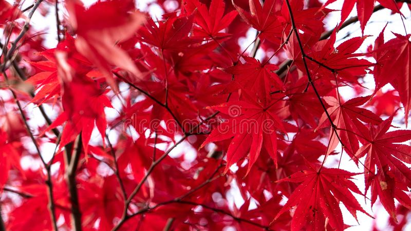 Red maple leafs only autumn. Vivid red-colored maple leafs. Red-colored leafs always represent the feeling of the autumn stock image