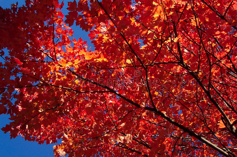 Download Red Maple Leaves stock photo. Image of washington, tree, leaves - 8410