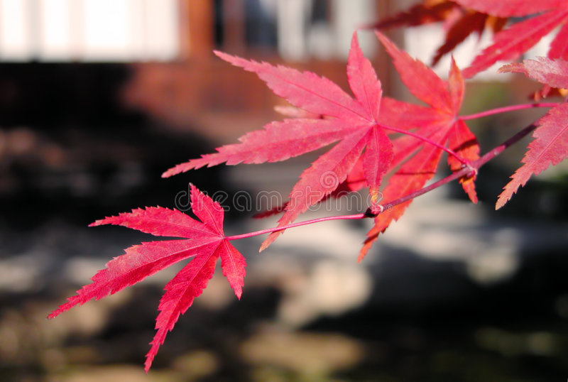 Red maple leaves royalty free stock images