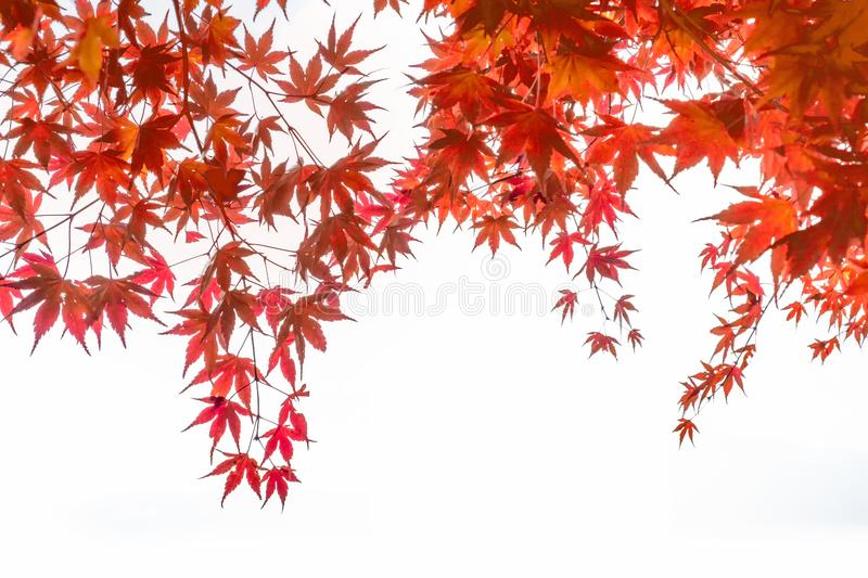 Red Maple leaves cover on white background. Red Maple leaves arch cover on white background stock photography