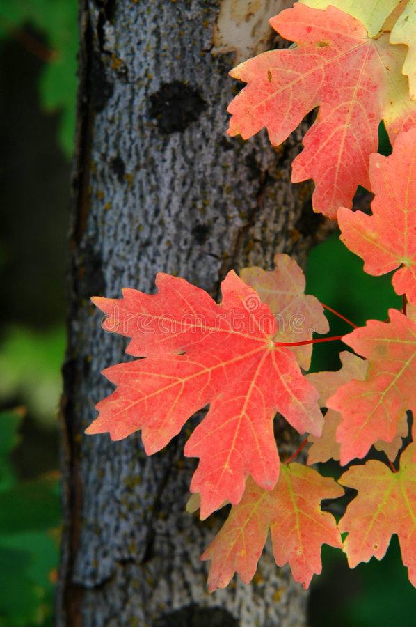 Download Red Maple Leaves Autumn stock photo. Image of change, details - 1397092