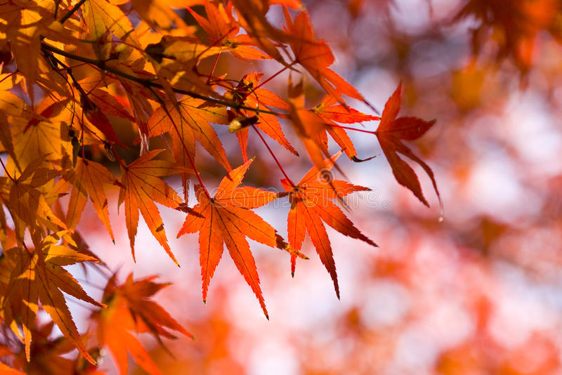 Red maple leaves autumn background. Beautiful red maple leaves against unfocused autumnal background. Photo taken on Dec. 8th, 2009 at Higasiyama Zoo and royalty free stock image