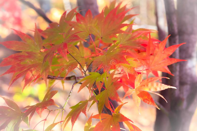 Red maple leaves in autumn season. stock image