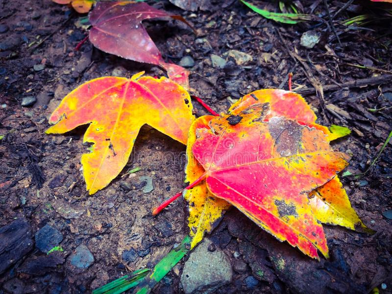 Red maple leaves on a beautiful ground. stock images