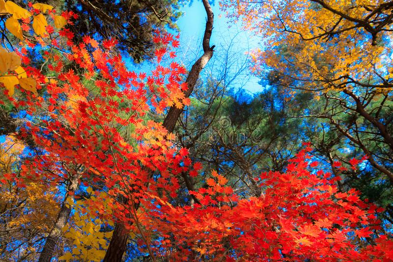 Red maple leaves and green trees, blue sky in the background. stock image