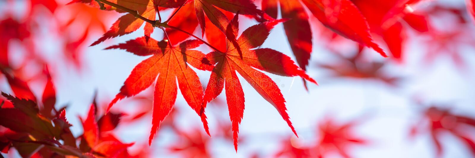 Red maple leaves panoramic background autumn concept royalty free stock image