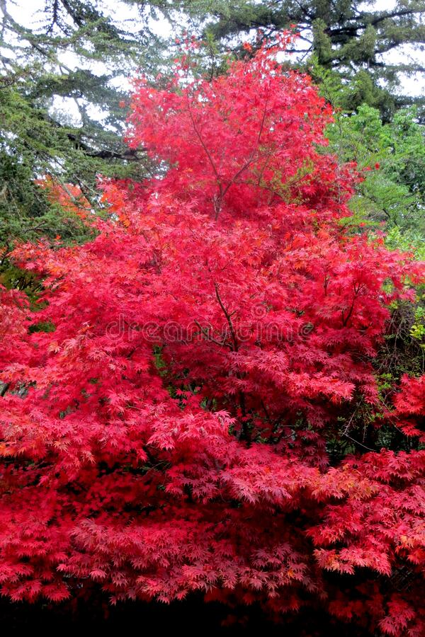 red maple tree stock photo