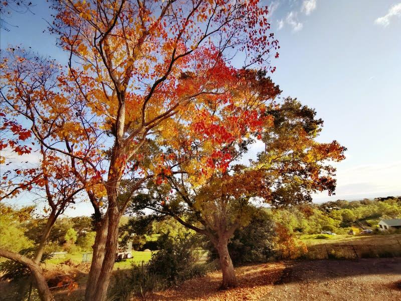 Red maple tree in Autumn, Sydney Australia stock photography