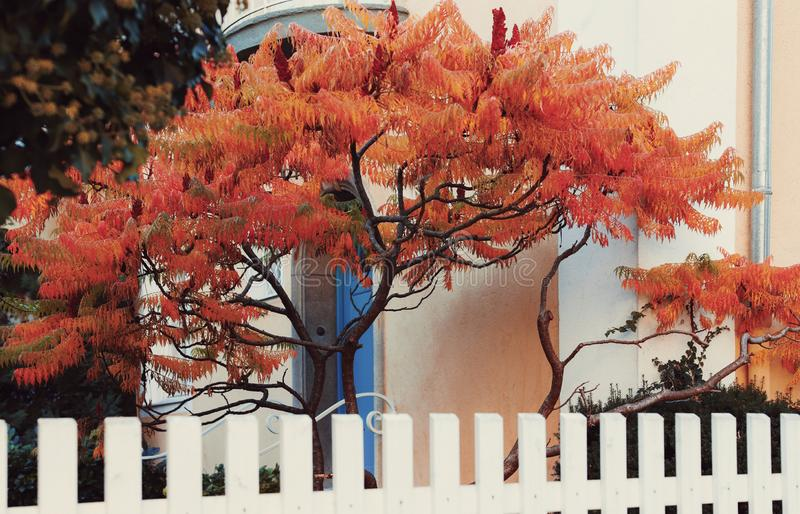 Red maple tree in front of blue door. ,Tree, green leaf, white wall, round arch,White fence,Autumn leaves stock image