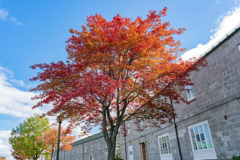 Red maple tree in the La Citadelle de Quebec. At Quebec, Canada stock photography
