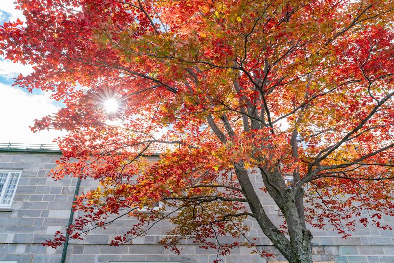 Red maple tree in the La Citadelle de Quebec. At Quebec, Canada royalty free stock photography