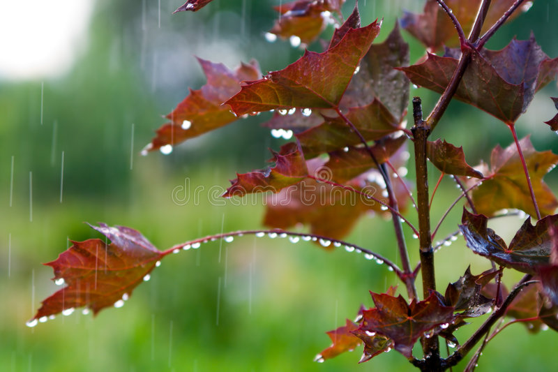 Red maple under the rain stock image