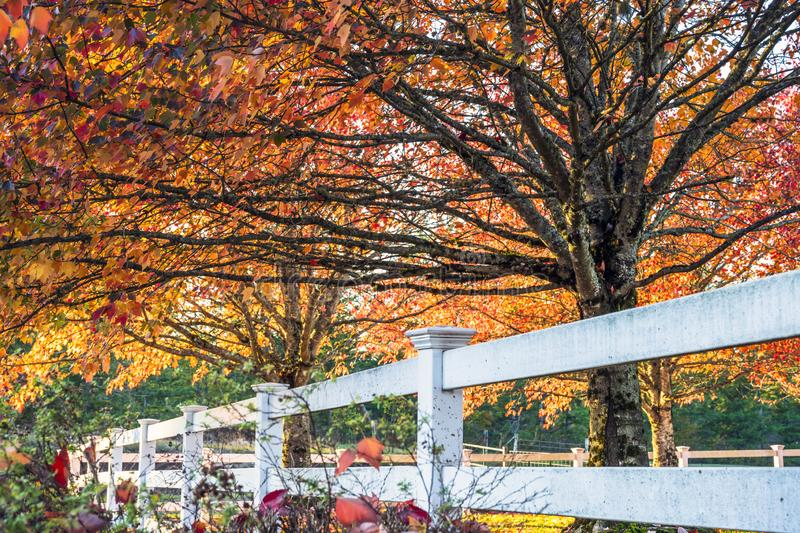 Red maples with falling leaves burning in the sun in clearing be. Maples with leaves painted red in autumn as a symbol of a past life, coming to a close of days stock photo