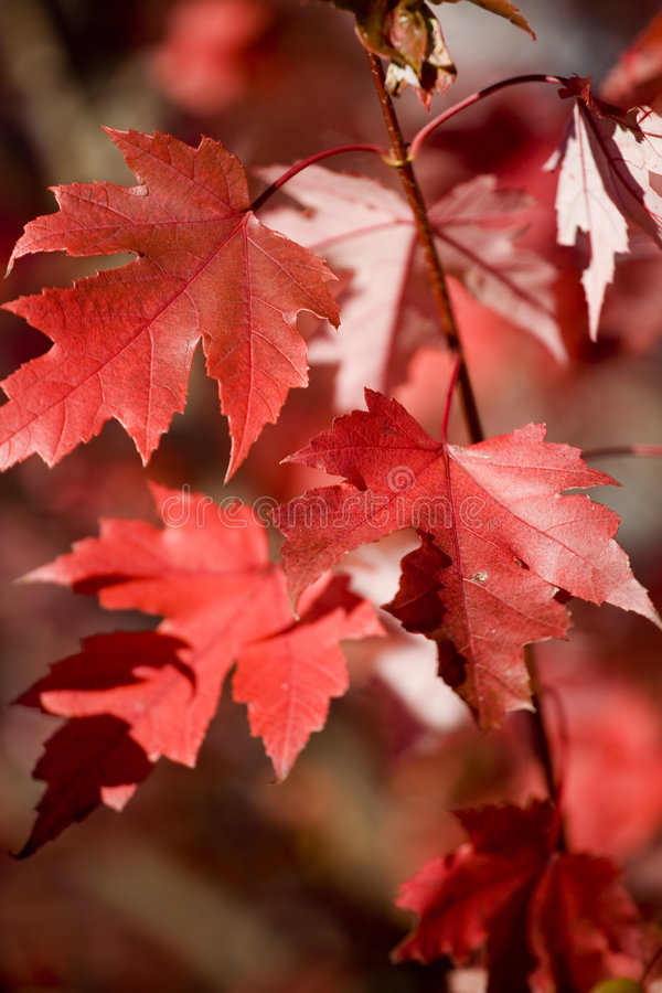 Download Red Maples Leaves In Autumn Stock Photography - Image: 1424272