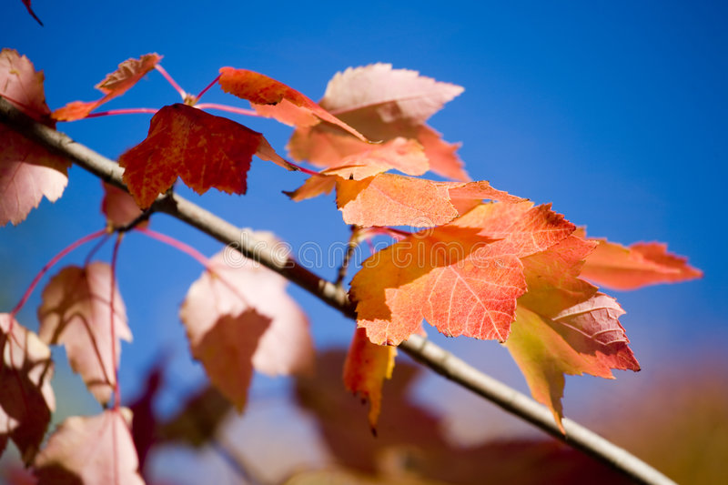Download Red Maples Leaves  And Blue Sky In Autumn Royalty Free Stock Photography - Image: 1408997