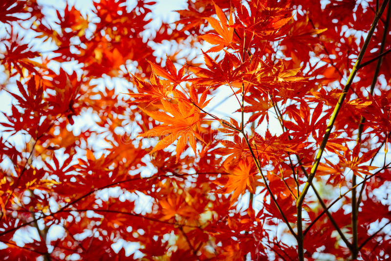 Red mapple leaves on blue sky background. royalty free stock photo